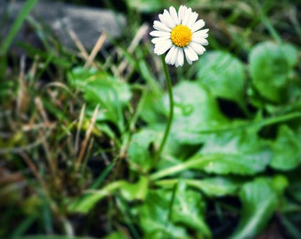Daisy Print, Flower Print, Daisy Photo, Daisy Picture, Flower Print, Yellow Daisy Print, Yellow Daisy Photo, Flower Photography, Daisy