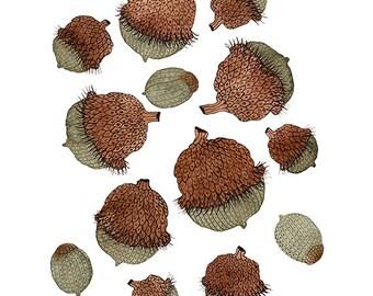 Burr Oak drucken, Herbst Eicheln, Giclee-Art-print, Eiche Struktur, Natur-Kunst, Samen, Aquarell Reproduktion, Wald