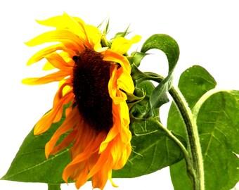 Sunflower Fine Art Photographic Blank Greetings Card