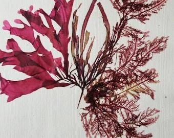 Pressed Algae - Canadian Pressed Algae - Naturalist Algae Pressing - Algae Collection Piece - Seaweed Pressing - Pressed Seaweed
