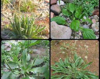 Organic Plantago Seeds ~ Choose from Psyllium; Broadleaf; Chinese or English Plantain ~ Plantago ovata; major; asiatica; lanceolata