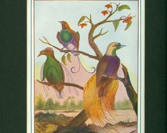 Living Rainbows - Birds of Paradise Vintage 1921 Print