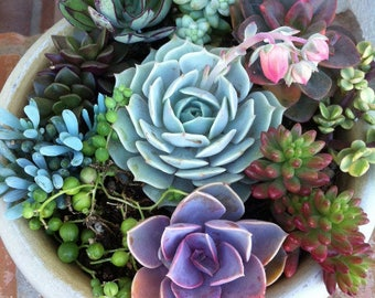 Succulent Plant. - DIY Dish Garden Plants. Perfect To Build Your Own Centerpiece.