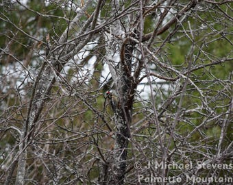 Woodpecker in Apple Tree - Photograph - Original Artwork - Outdoor Nature Print