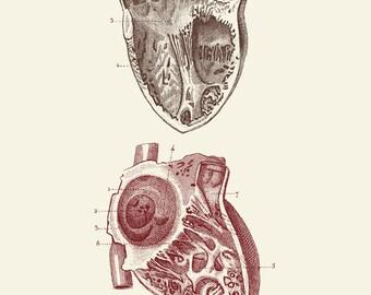 "Vintage Human Anatomy, Heart,  ""L'anatomie Humaine"" Print 8x10 P305"