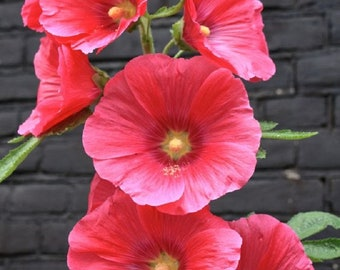 Rare Pink Hollyhock Seeds Perennial Giant Flower Garden Plant Spring Summer Fall Holly Hock Blooms Yard 326