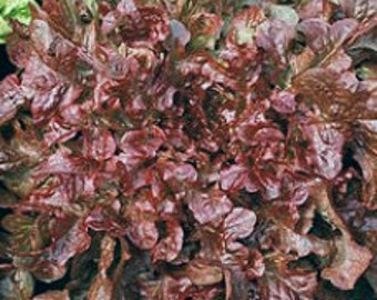Red Salad Bowl Heirloom Leaf Lettuce Seeds  Non-GMO Naturally Grown Open Pollinated Gardening