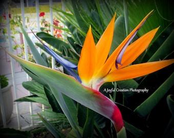 Bird of Paradise - Bird of Paradise flower - Bird of Paradise photograph - Bird of Paradise flower photo - flower - flower photograph