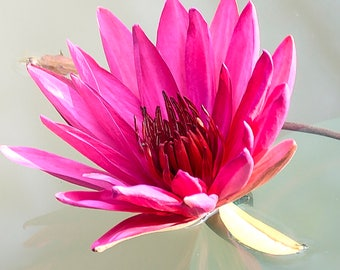 Pink Lily Square Photo Digital Download