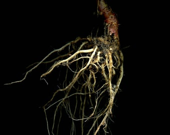 Photography / Red CABBAGE root I //  scanography / botanical / kitchen wall art / underground sculpture