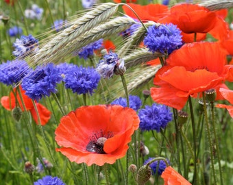 A field full of poppies and cornflowers