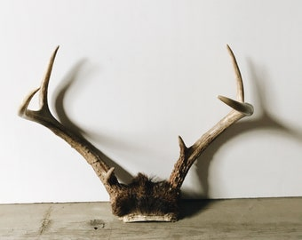 SALE|Vintage deer antlers with partial skull cap | taxidermy decor