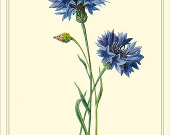 CORNFLOWER Botanical Reproduction Instant Download  - Edward Hulme 1906