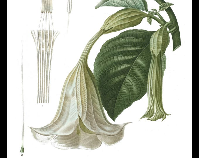 Instant Download, Botanical Flower, Trumpet, Printable Wall Art, Antique Botanical, Illustration, Flower Art, Shabby Chic, Cottage Decor