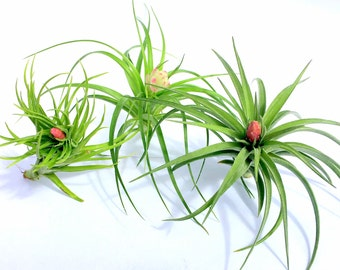Air Plant In Bloom Collection Quantity of 3 Individual Plants