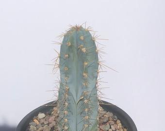 """Piloscereus Azureus  -beautiful blue cactus Plant 8"""""""