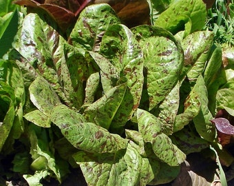 Freckles Romaine Heirloom Lettuce Seeds Non-GMO Naturally Grown Open Pollinated Gardening