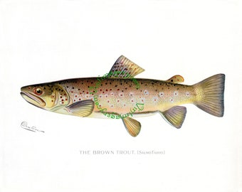 Brown Trout print, by S. F. Denton, 1903: Vintage Fish print digital image