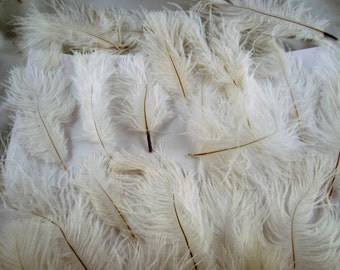 25 OSTRICH Natural white 2 to 5 inches less than perfect feathers