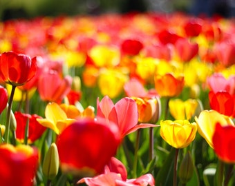 Photo Print - Tulips in Boston Public Gardens, Yellow, Red, Pink Blossoms