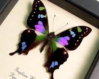 Dad's & Grad's Gift Best Seller Butterfly Purple Spot Swallowtail 229