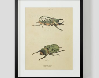 Beetles Insect Plate 12