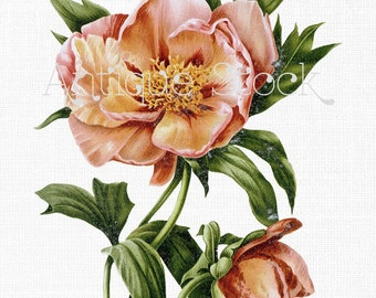 Flower Clipart 'Hybrid Tree Peony' Botanical Illustration Digital Download for Crafts, Wall Art, Collages, Scrapbooking, Invites...