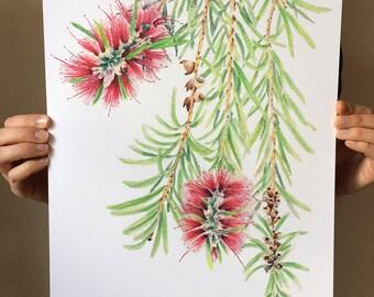 Bottlebrush (Callistemon) A3 watercolor print; Australian native plant botanical art; new home gift for nature lover; red flower print
