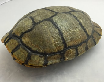 Real Turtle Shell - Male Red Eared Slider - 6 - 7 inch Long