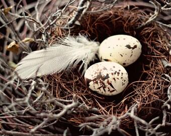 Fine Art Nature Photography Nest Feathers Eggs Brown Cream Neutrals Home Decor Farmhouse Decor