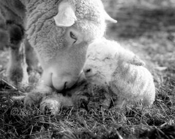 sheep photography, farm animal photography, nursery wall print, rustic farm photography, black white photography, ewe photo, lamb photo, art