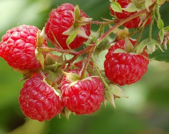 Raspberry Jam Farmers Market berry