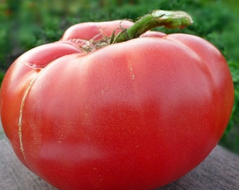 Bulgarian Beefsteak Tomato Heirloom Garden Seed Non-GMO 30+ Seeds Naturally Grown Open Pollinated Gardening