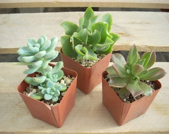 8 Succulent Plants Chunky Collection 3 Inch Pots