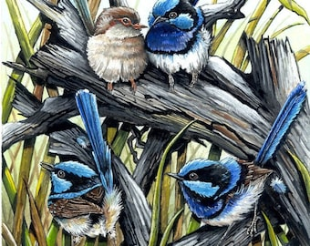 True Blues - Superb Blue Wrens