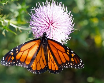 Monarch Butterfly Photo Print, Large Art Print Nature Photography, Affordable Wall Art