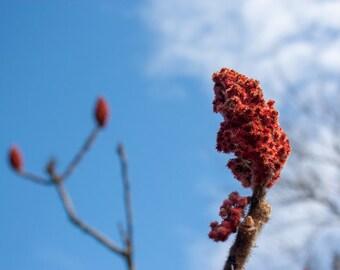 Sumac with a Blue Sky --Photography-- 8x12