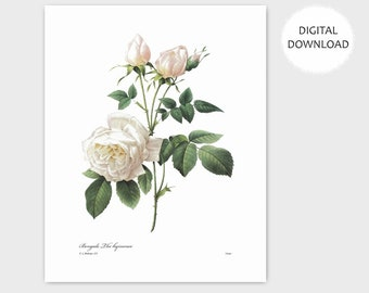 White Rose Art, English Garden Decor (Instant Download Wall French Home Antique Digital Cottage Nursery Print) PRINTABLE Botanical - Redoute