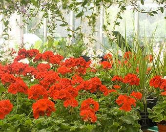 Red Geranium Photograph,  Fine Art Photography, Floral Art Print, Flower Market Still Life
