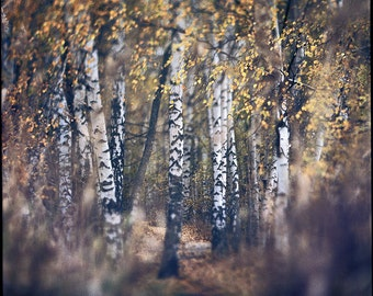 Finland, Birch Landscape, Photography Giclee Print, Limited Edition, Film, Analog, Square Format, Small or Large Art, Woods, Scandinavia