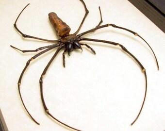 Dad's & Grad's Gift Real Framed Female Japanese Golden Orb Weaver Spider 2207