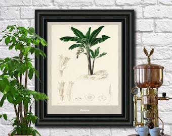 Banana antique botanical print Vintage Bananas illustration Kitchen wall art  0432