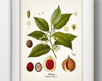 Vintage Nutmeg Print - KO-17 - Fine art print of a vintage natural history antique illustration