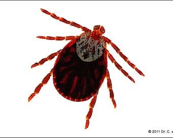 Tick Dermacentor reticulatus biological parasite arachnid embedding print