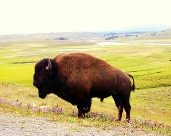 ACEO Print photographie Buffalo Yellowstone vallée la faune native animale édition open