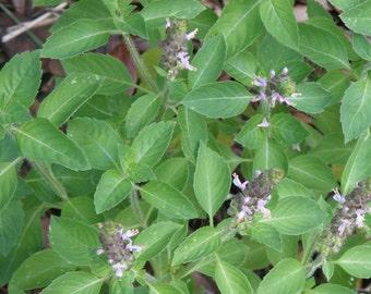 Holy Basil (Tulsi) Seeds, Herbal Tulsi Seeds, Organically Grown-Open Pollinated Tulsi Seeds, Holy Basil  Herb Seeds, Non GMO Seeds.