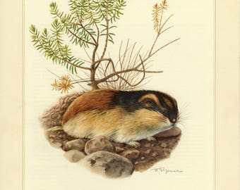 Vintage lithograph of the Norway lemming from 1956