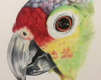 Parrot- original colored pencil art