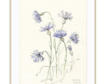 Cornflowers botanical drawing - PRINT of watercolour and pencil drawing, field flowers - shabby print botanical art by Catalina