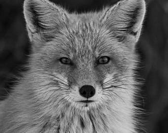 Red Fox Photograph, Black and White Animal Photography, Wildlife Wall Art, Office Decor, Nature Wall Art, Cool Gifts for Guys, Lake House